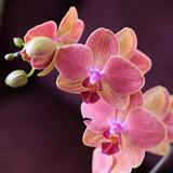 Orchidées rose et jaune de Vanessa